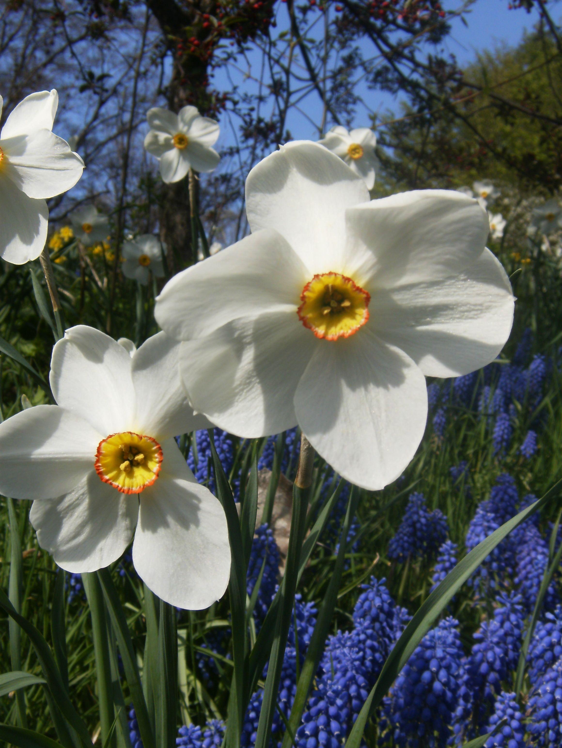 White Daffodilsnquills Beautiful Flowers Pinterest