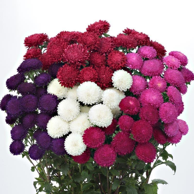 Aster Bonita Mix F1 Aster Flower Seeds Flower Bud