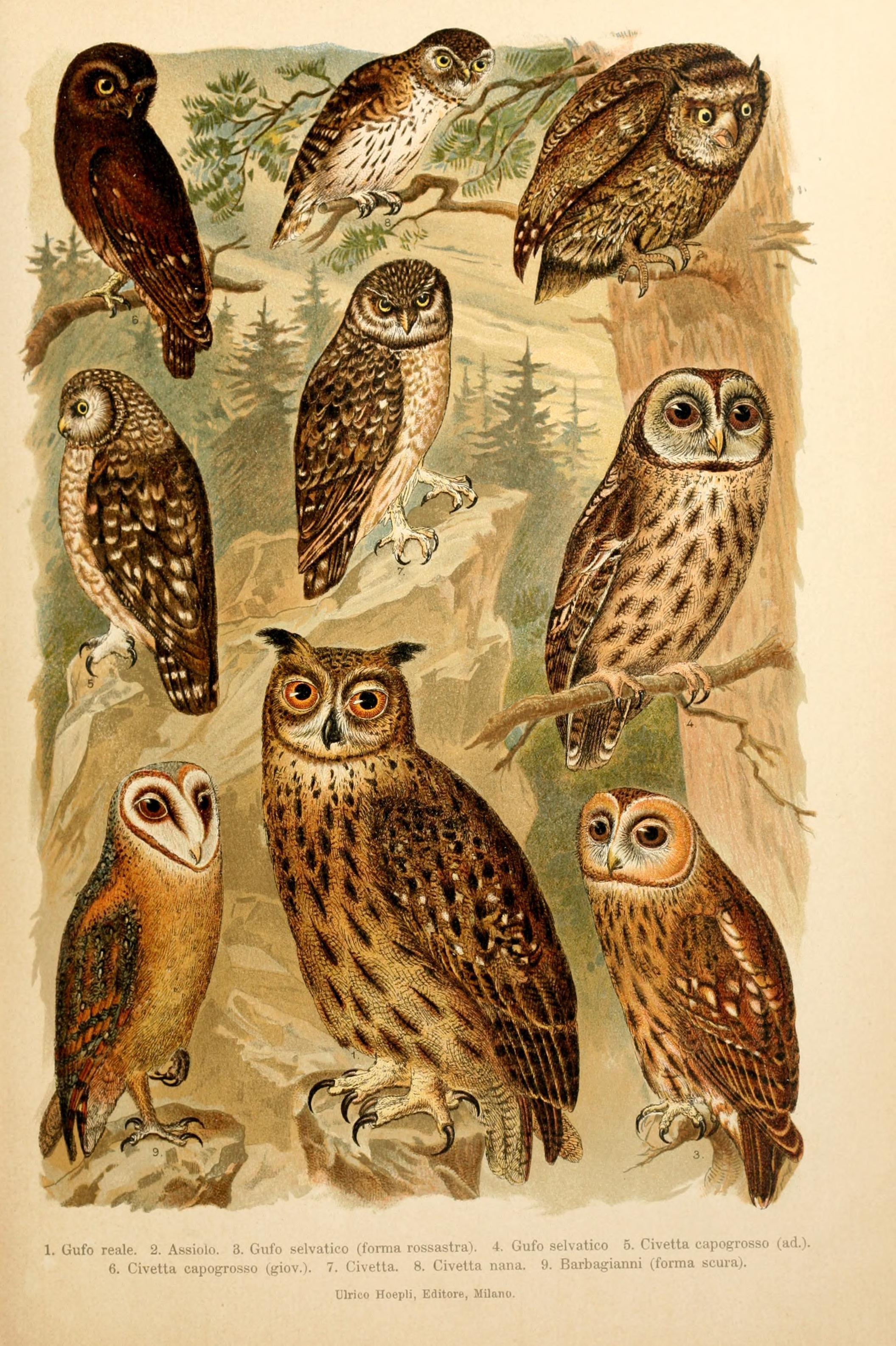 Atlante Ornitologico Biodiversity Heritage Library Owl Illustration Owl Vintage Owl