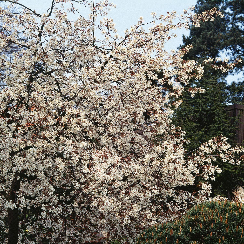 Amelanchier grandiflora Ballerina - Serviceberry - Dobbies Garden ...