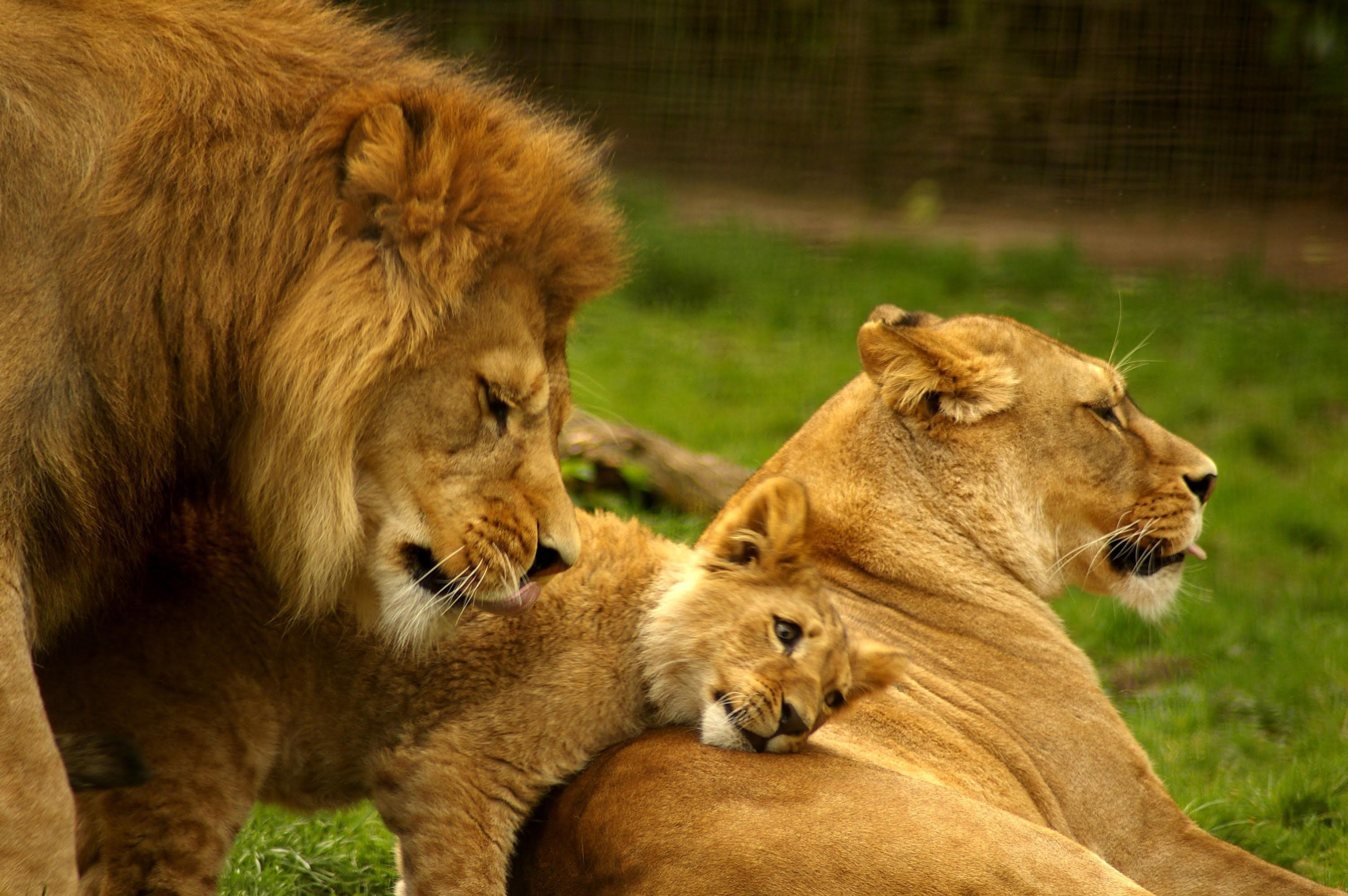 National Geographic The Lives Of Lions National Geographic Animals Lion Family Lion Pictures Animals Wild
