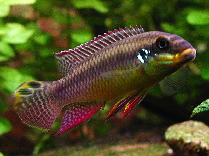 Id Wanted Are These Pelvicachromis Taeniatus Moliwe Kribensis Kribs Pics The Planted Tank Forum Cichlids Aquarium Fish African Cichlid Tank