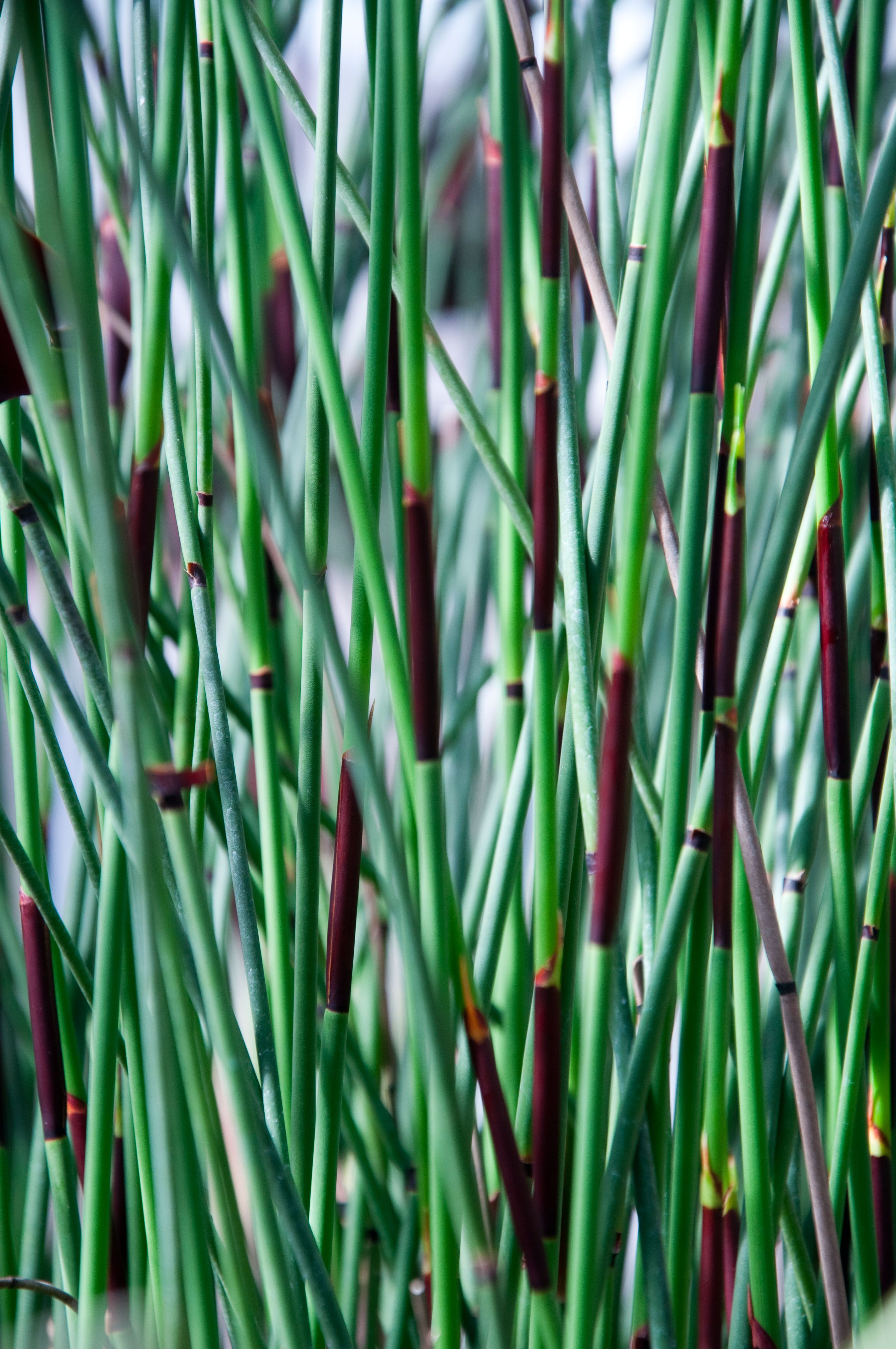 Horsetail Flowers, Garden, Plants