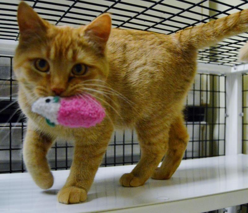 Adopt Peewee On Short Hair Cats Cats Humane Society