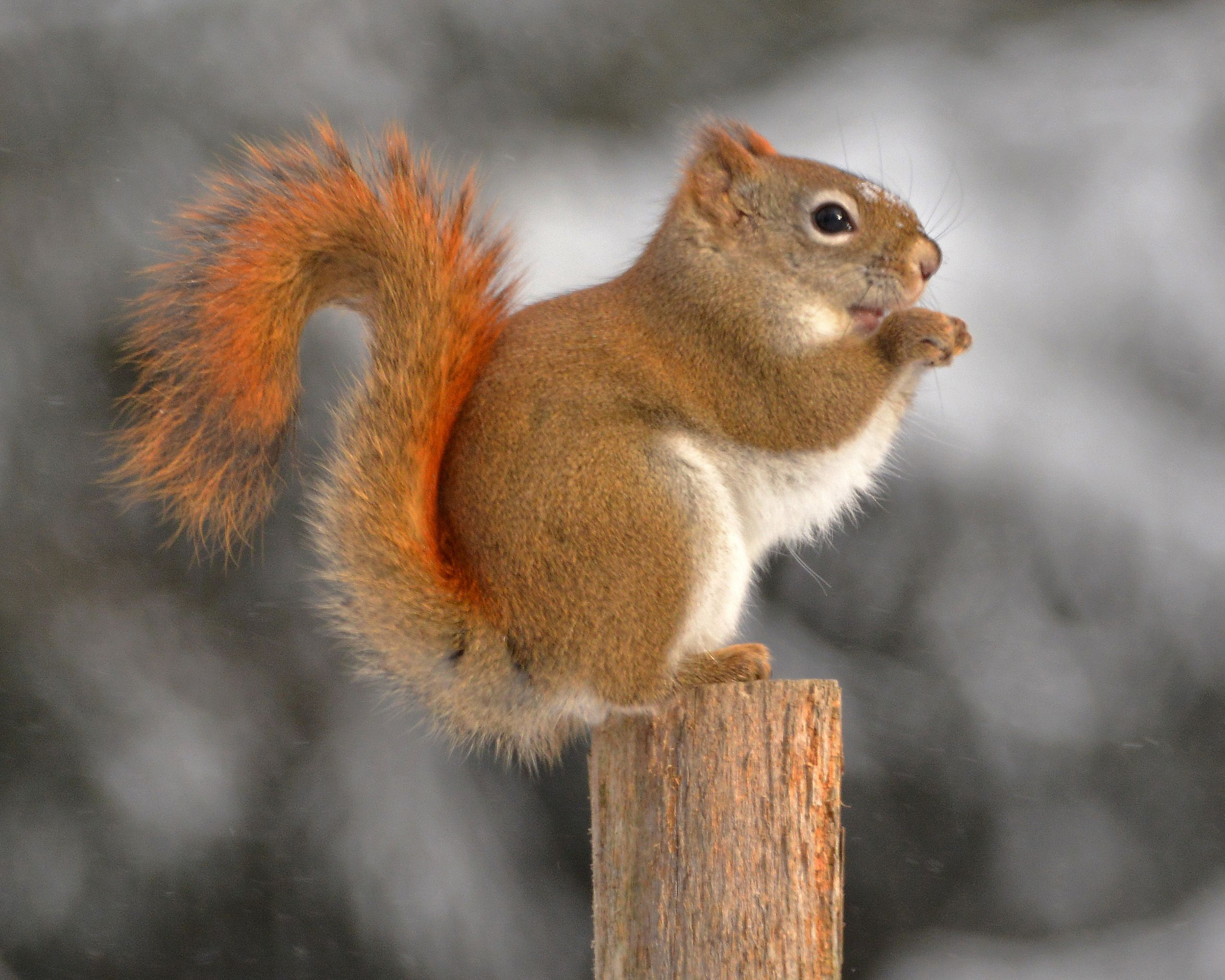 Meaning of white squirrel sighting - Image Result For American Red Squirrel