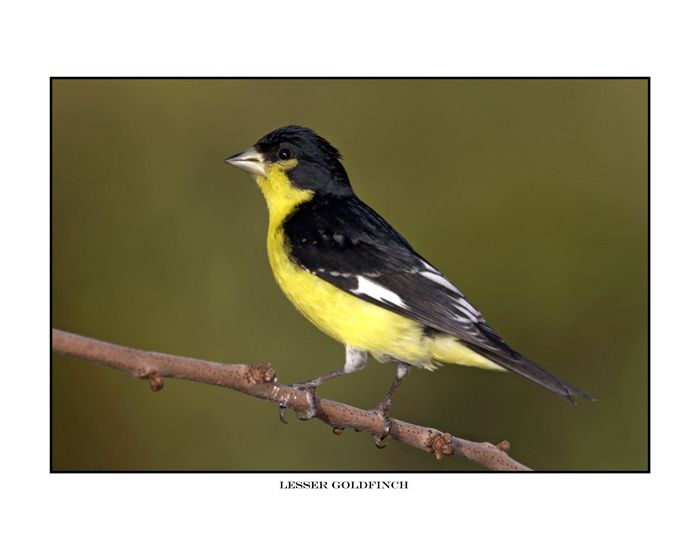 Finch With Black Head And Yellow Wings Lesser Goldfinch Http