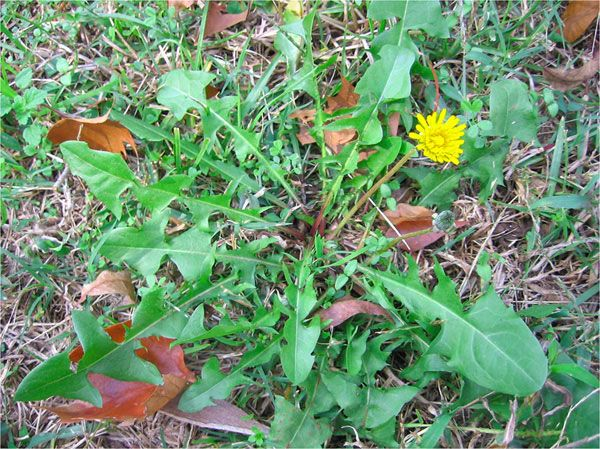 Dandelion Lawn Weeds #dandelion #lawnweeds