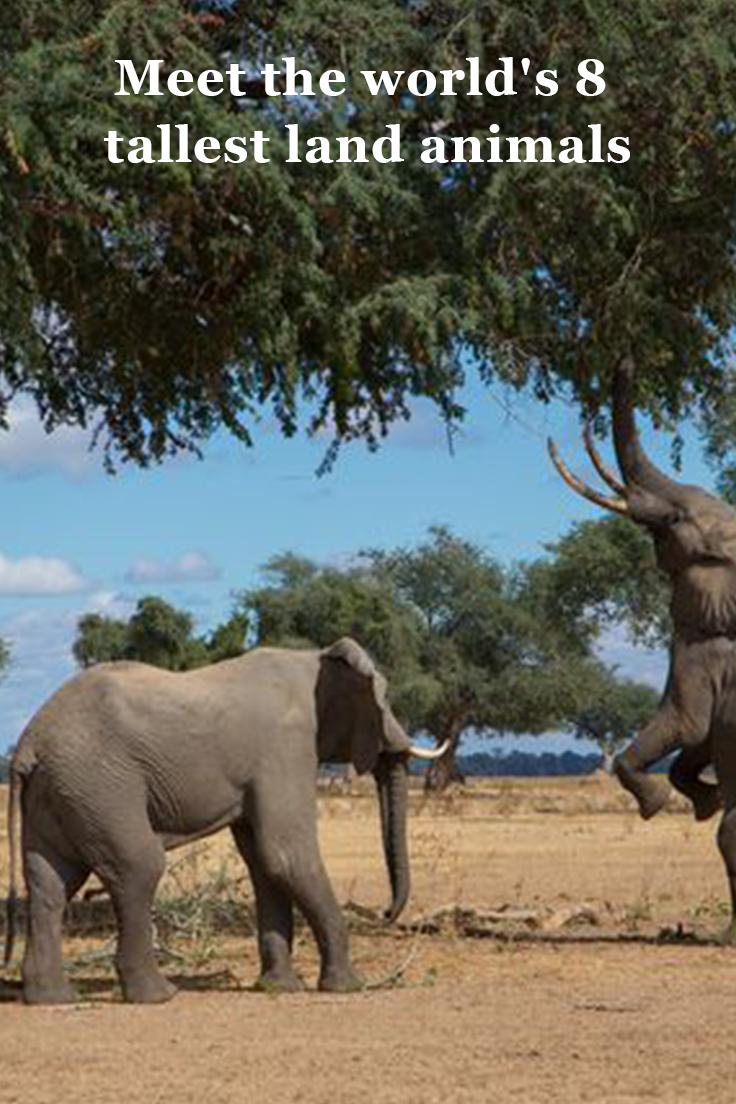 Meet the world's 8 tallest land animals Animals, Deer