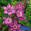 Clematis Cassis™ #kletterpflanzenwinterhart Clematis Cassis™ #kletterpflanzenwinterhart