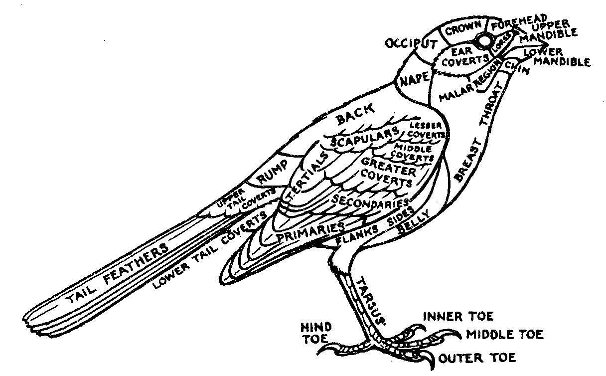 Bird external anatomy | Birds | Pinterest | Bird and Anatomy