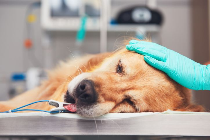 Dog In The Animal Hospital Golden Retriever Lying On The Operating