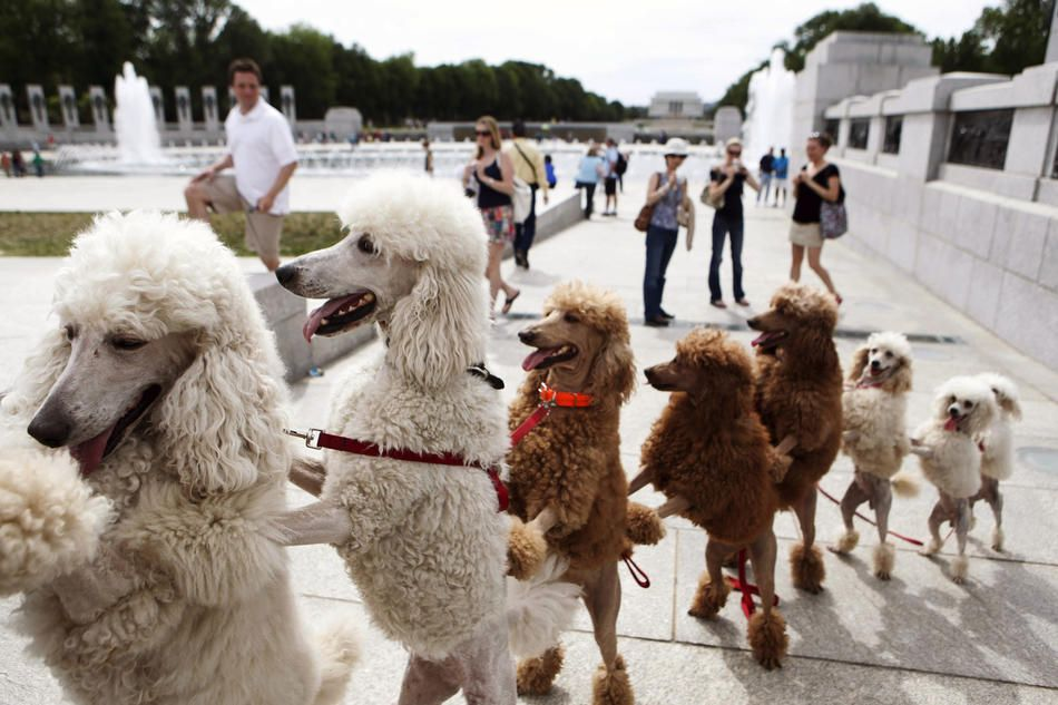 Hmmm As Long As The Dogs Are Happy A Group Of Poodles