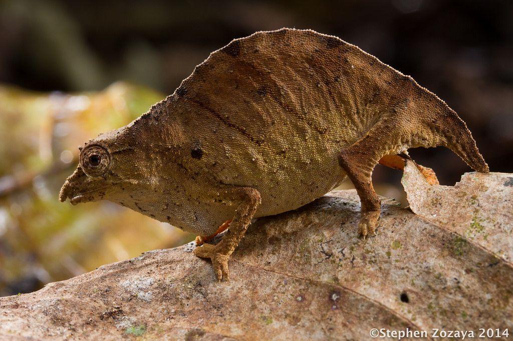 """creaturesalive """" Udzungwa pygmychameleon (Rhampholeon"""