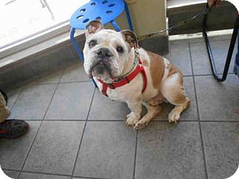 San Antonio Tx English Bulldog Meet Buddy A Dog For Adoption English Bulldog Dog Adoption Kitten Adoption