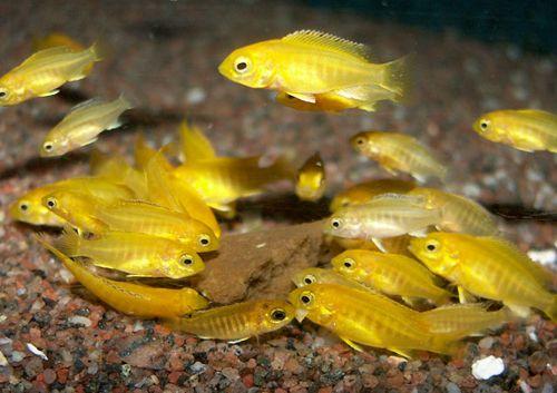"Labidochromis caeruleus ""Electric golden"" - good temper, works with aulonocara. Transition zone"