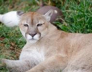 Star --- Purchase this print! #turpentinecreek #cougar