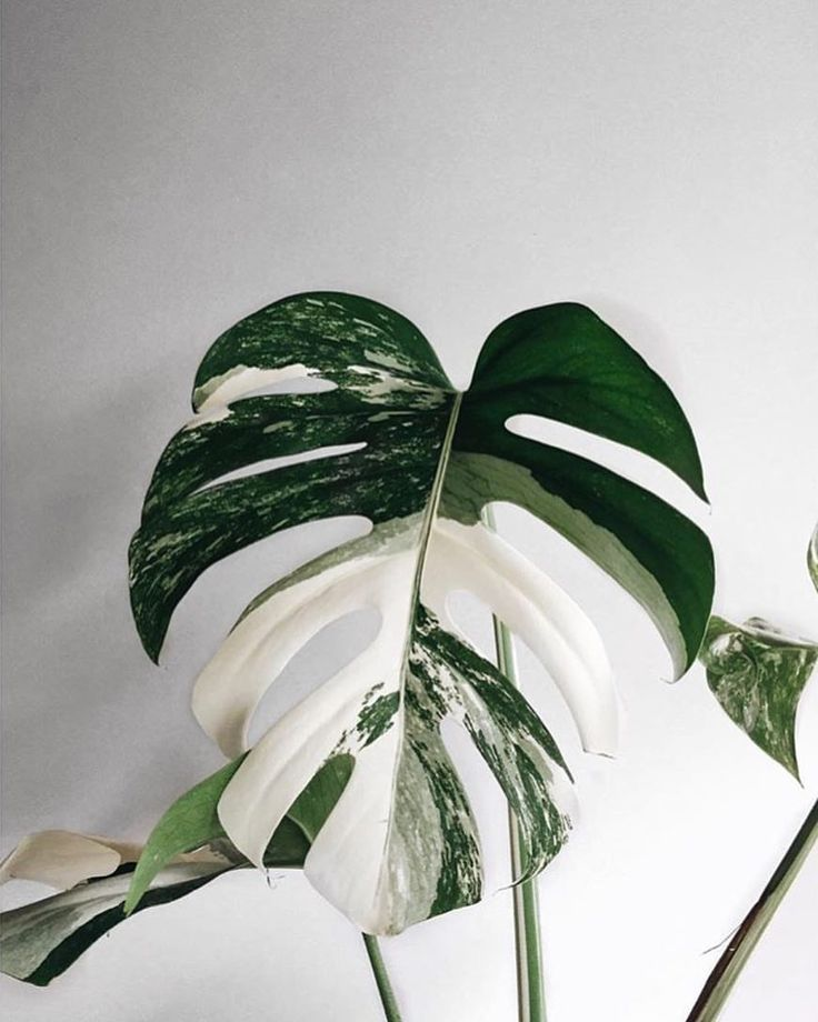 Amazing leaf of Monstera borsigiana variegata! Phot