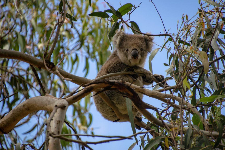 Kennett River Koala Walk The Best Place To See Koalas In Victoria Koala Koalas Koala Bear