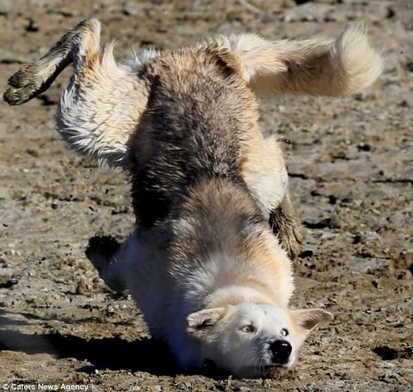 Husky captured taking a tumble when he ran too fast for his legs.