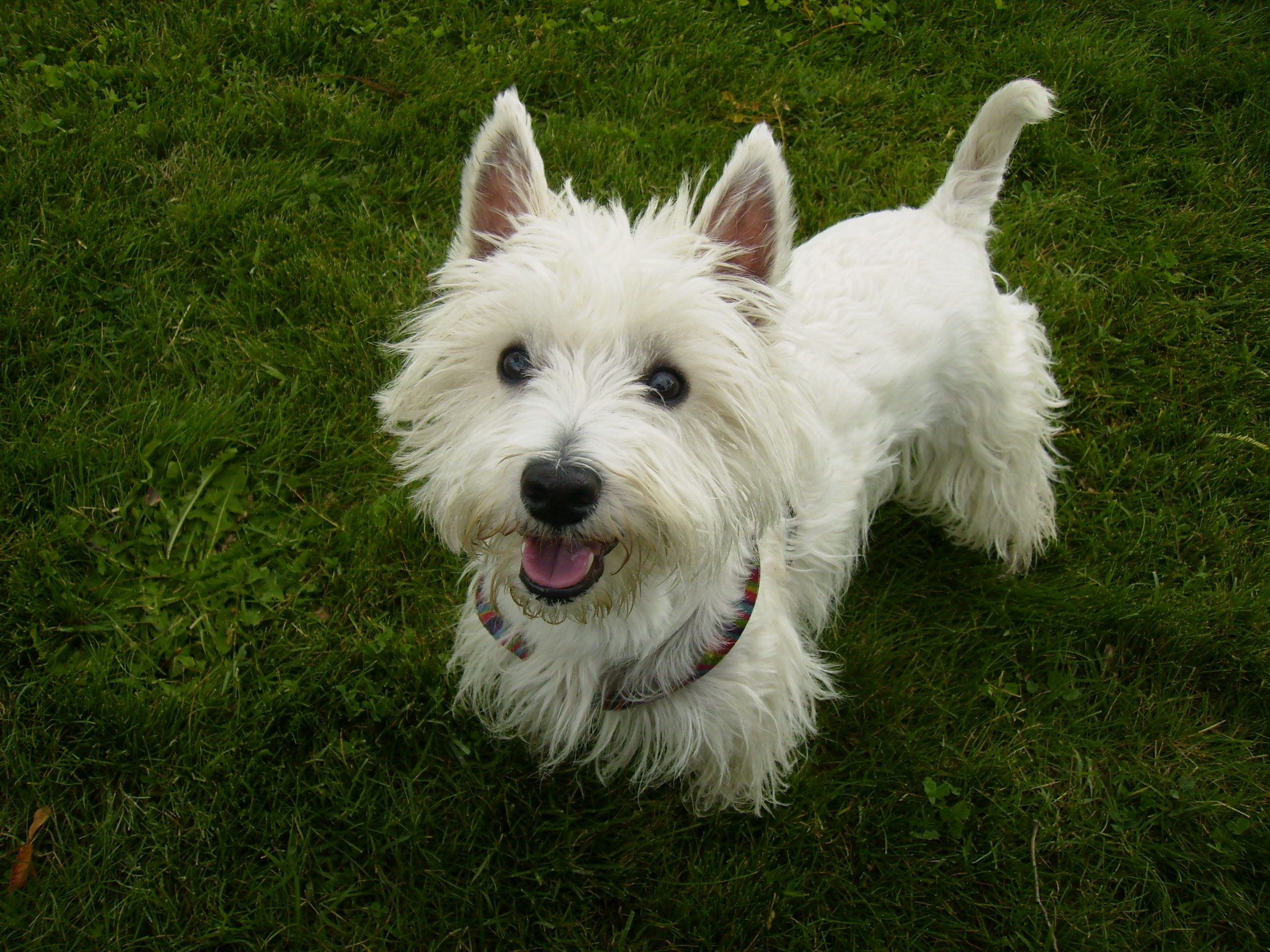 west highland white terrier Google Search Doggies and