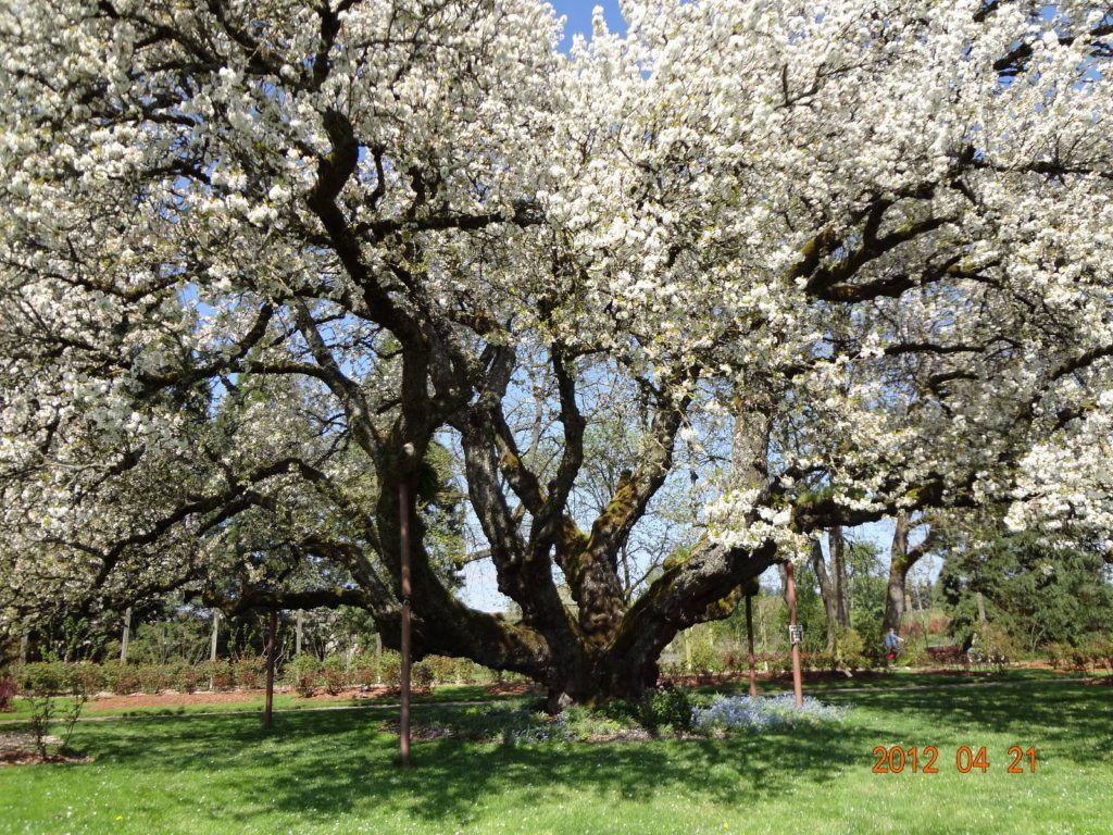 165 yr old Tartarian Cherry Tree   ,  Eugene, Oregon         65 ft tall and  80 ft     wide,