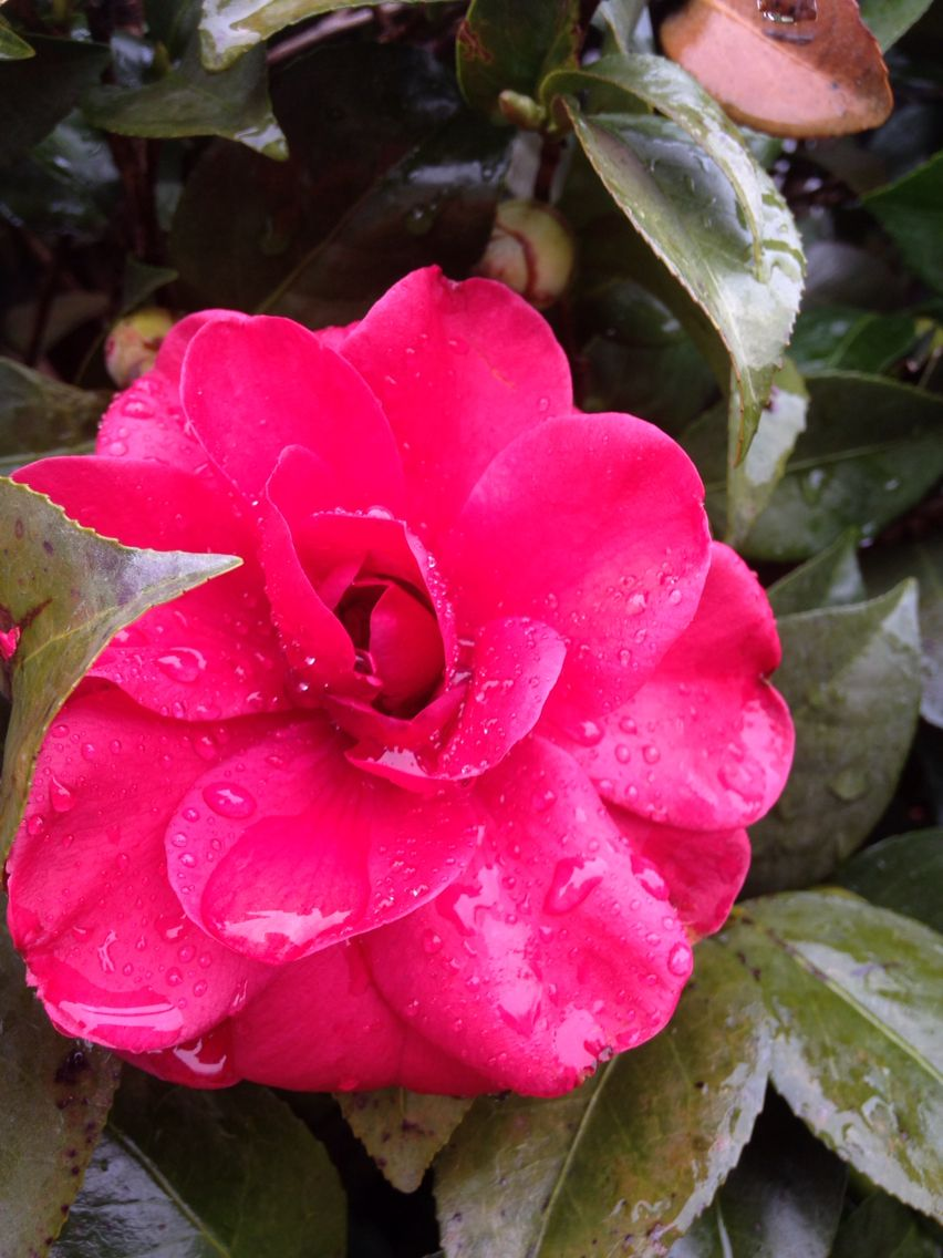 Christmas Day at my mothers home there were five beautiful Camellia flowers in her front lawn and I had to take a photo.