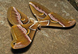 Lesser Atlas Moth (Samia wangi, Saturniinae) | by John Horstman (itchydogimages, SINOBUG)