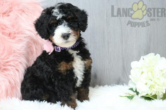 Pin By Buckeye Puppies On Mini Bernedoodle Puppies In 2020 Bernedoodle Puppy Mini Bernedoodle Puppies
