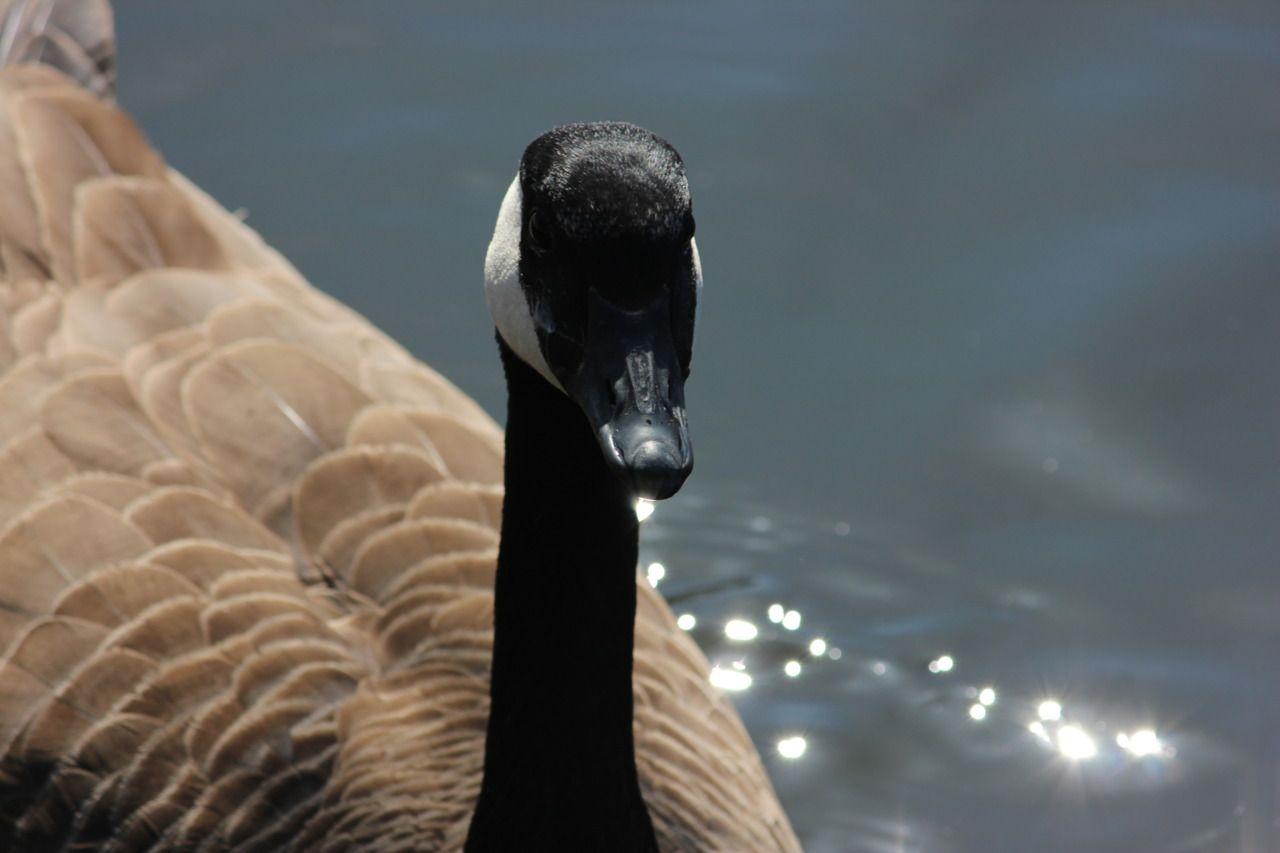 Canada goose at Beaumaris Lake, #edmonton