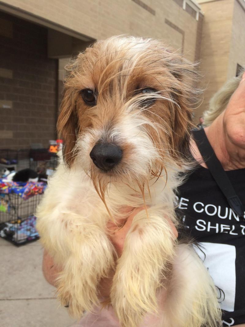 Adopt frank on petfinder yorkie dogs yorkshire terrier