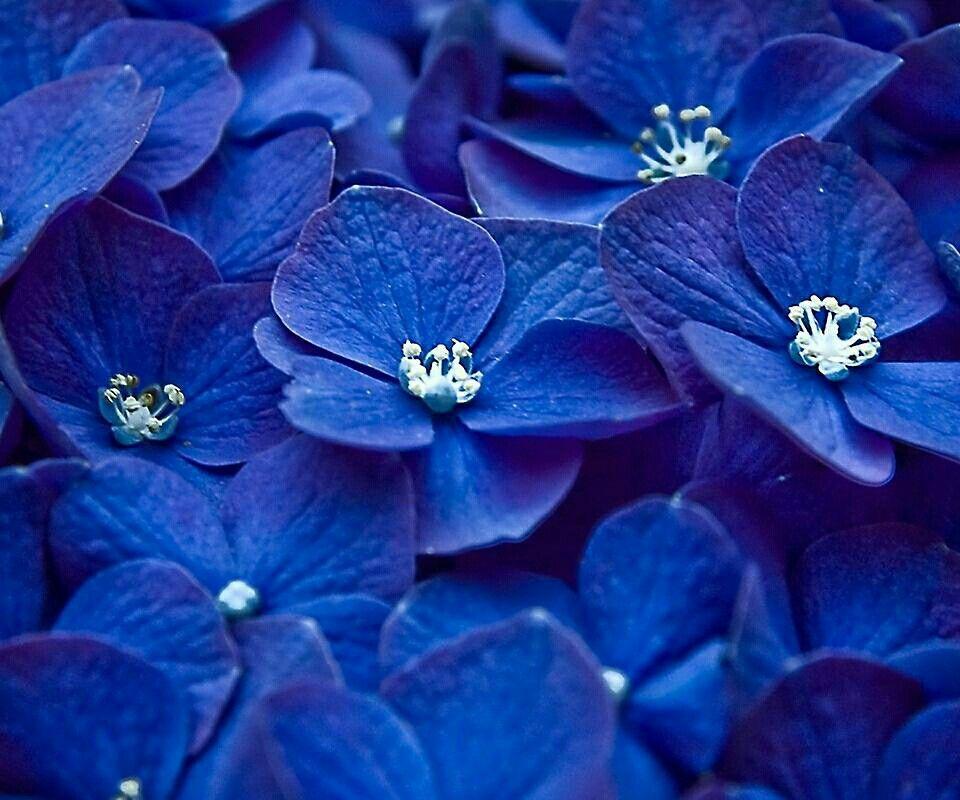 Blaue Blumen Blumen Pinterest blaue Blumen, Blau und Blumen