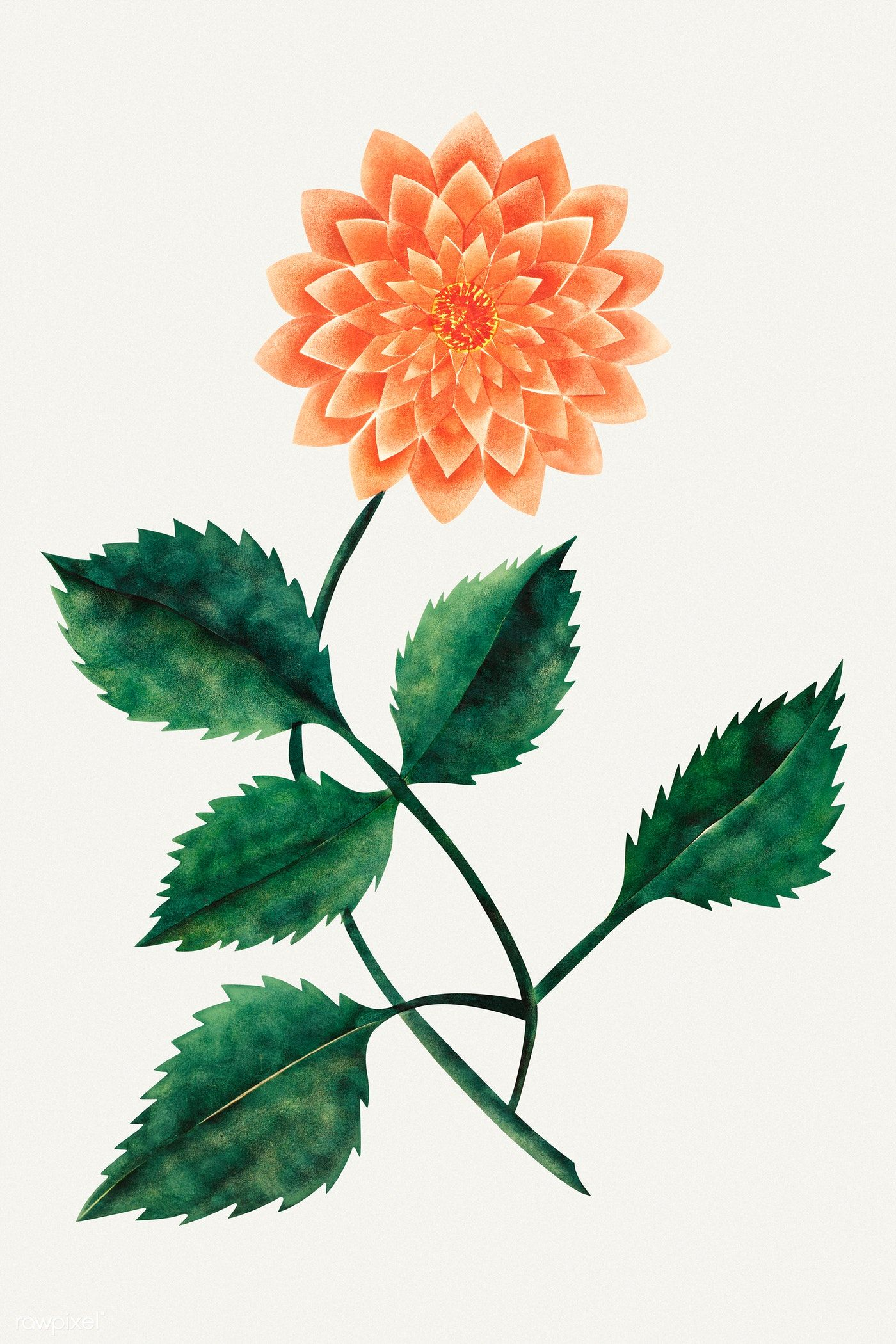 Download Premium Illustration Of Dahlia Flower Vintage Illustration 2206370 In 2020 Vintage Illustration Vintage Flowers Dahlia Flower