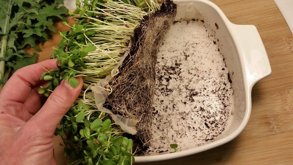 Growing microgreens without soil in the greens | sprouting