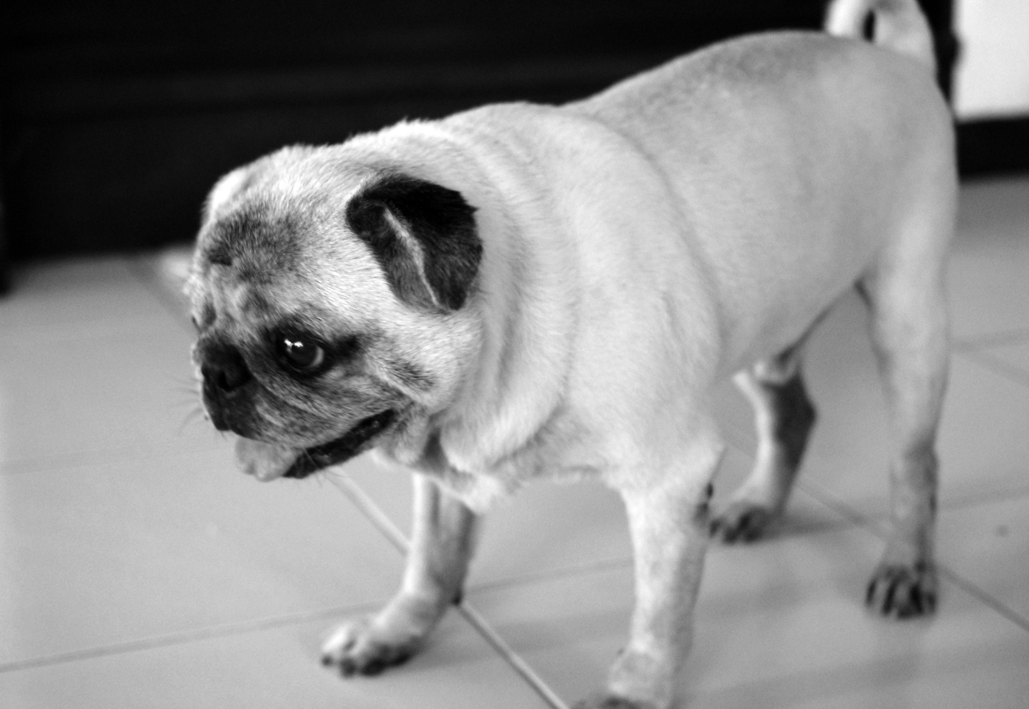 Sweetest pug in the world Pugs, Dogs, Animals
