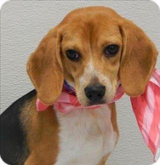 Topeka Ks Beagle Meet Bentley A Dog For Adoption Http Www