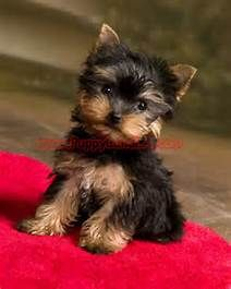 Baby Face Teacup Yorkie Puppies