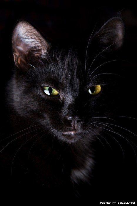 фото красивые черные кошки