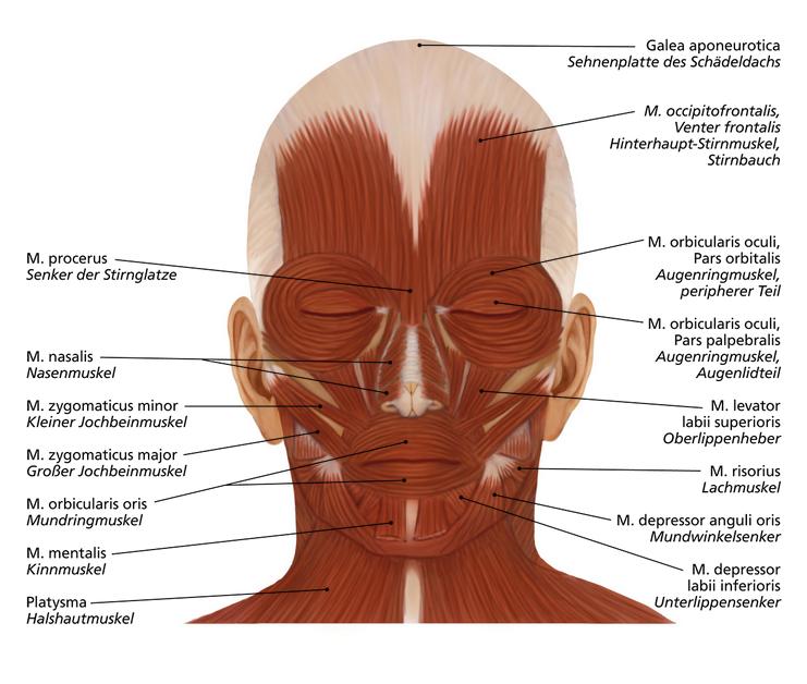 Gesichtsmuskeln | Anatomie | Pinterest | Anti Aging