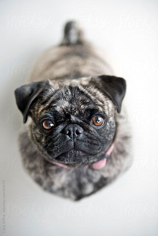 I love the different colors and types of pugs out there...l this is a very pretty one here...