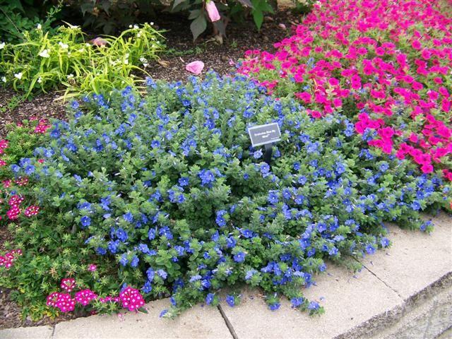 Picture Of Evolvulus Hybrid Blue My Mind Dwarf Morning Glory