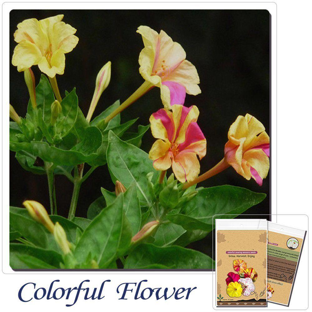 Solution Seeds Farm New Rare 20 Seeds Colorful Heirloom Jasmine