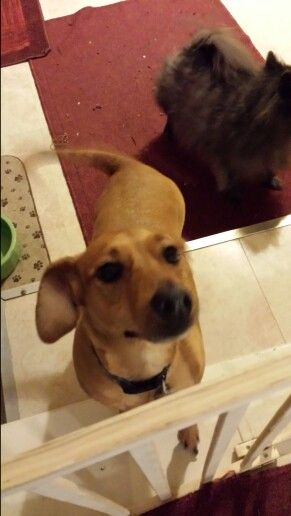 Jesse is a dachshund chihuahua mix. He is anxiously waiting for a loving family to find him and make him part of the family. Florida adoption only. If interested please contact me Margie.Stafford857@gmail.com