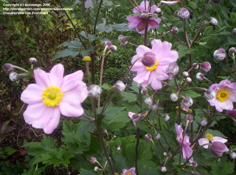 Anemone Hupehensis Var Japonica