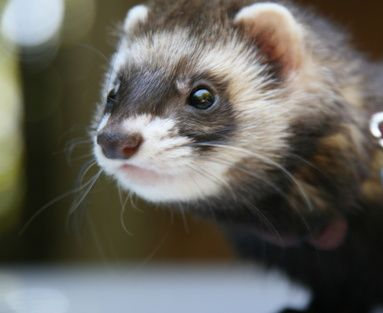 Keeping your fuzzy ferret entertained doesn't have to cost