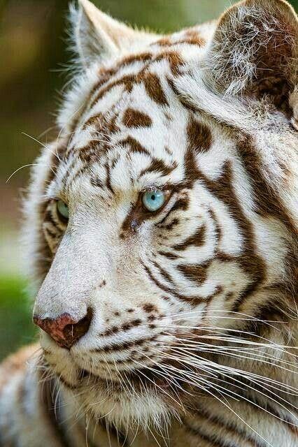 White tiger beauty ♡♡♡