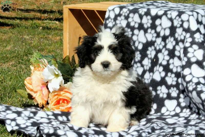 Mario mini bernedoodle puppy for sale in pennsylvania
