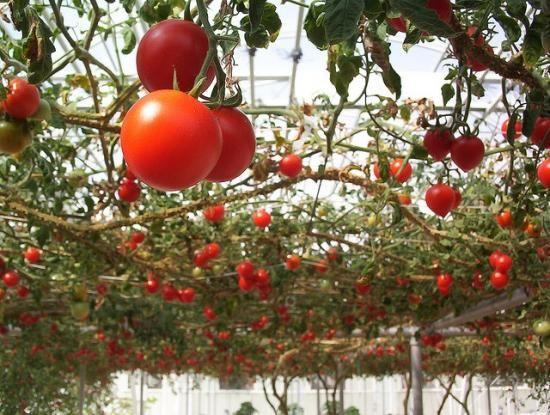 сад огород помидоры в теплице