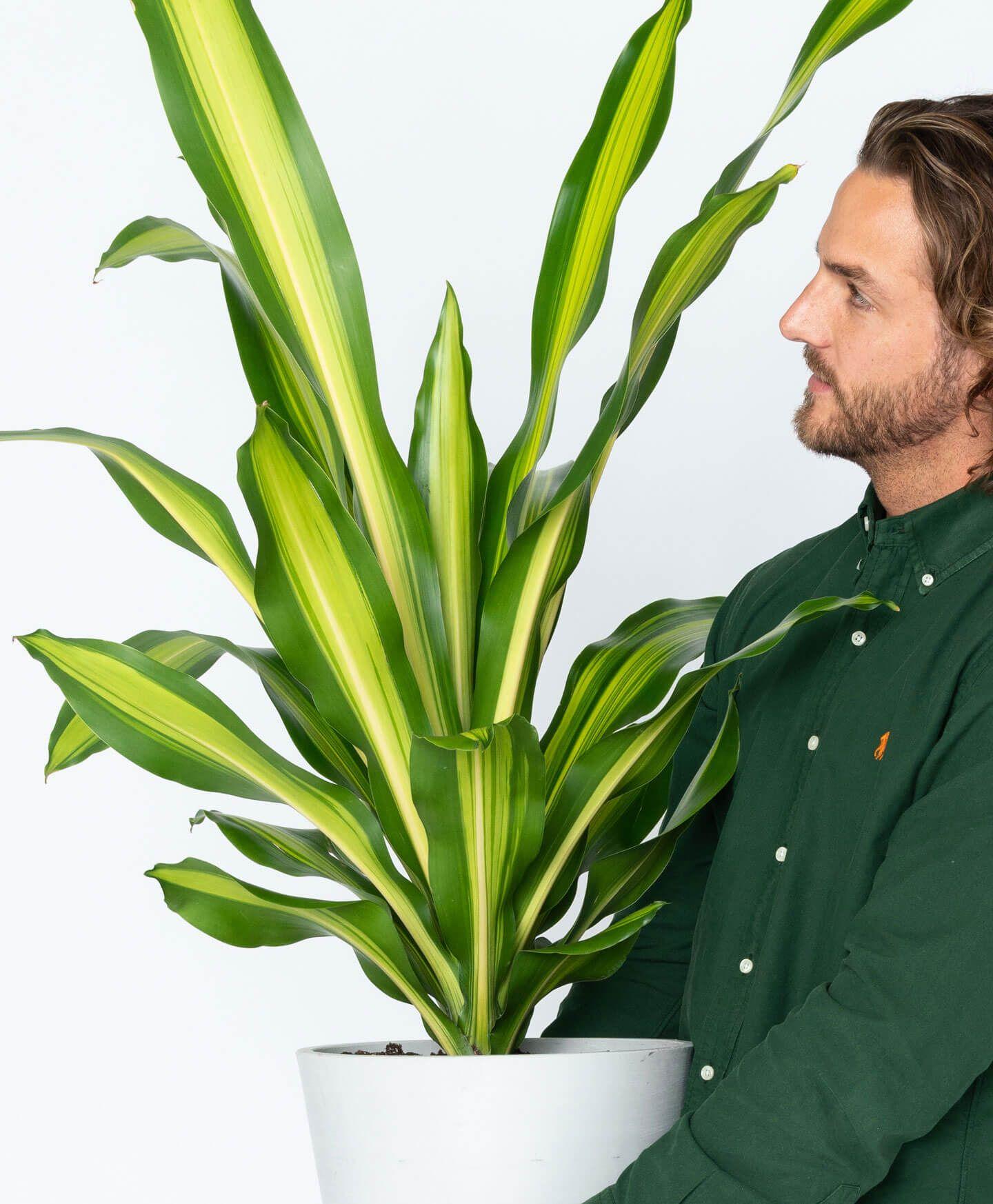 Buy potted dracaena giganta indoor plant bloomscape