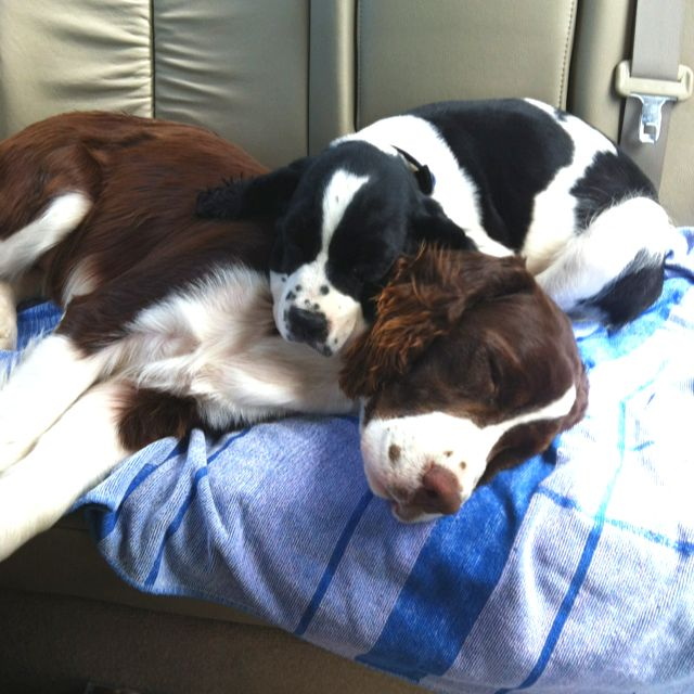 Pin By Jessemae Lane On God S Creations Springer Puppies Spaniel Puppies Spaniel Breeds