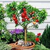 Harvester Peach Tree Fruit Trees In Containers Dwarf Fruit Trees Miniature Fruit Trees